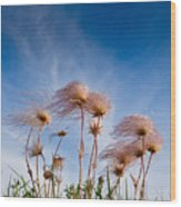 Prairie Smoke Wood Print