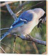 Praying Blue Jay Wood Print