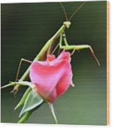 Praying Mantis 2 Wood Print