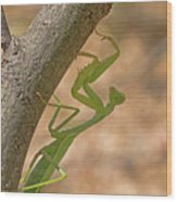 Praying Mantis On The Hunt Wood Print