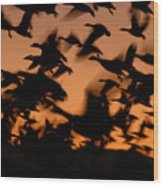 Pre-dawn Flight Of Snow Geese Flock Wood Print