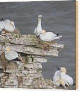 Precarious Nesting Bempton Gannets Wood Print