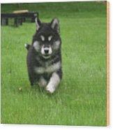 Precious Alusky Puppy Dog Running In A Yard Wood Print