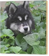 Precious Fluffy Alusky Puppy Dog In Green Foliage Wood Print