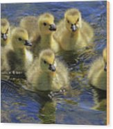 Precious Goslings Wood Print