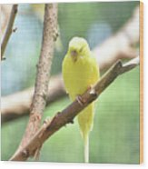 Precious Little Yellow Parakeet In The Wild Wood Print