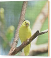 Precious Yellow Budgie Parakeeet In The Wild Wood Print