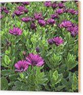 Prescott Park - Portsmouth New Hampshire Osteospermum Flowers Wood Print