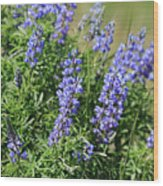 Pretty Blue Flowers Of Silky Lupine Wood Print