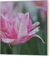Pretty Candy Striped Pale Pink Tulip In Bloom Wood Print