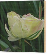Pretty Cream Colored Tulip Edged In Red With Dew Wood Print