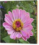 Pretty In Pink Zinnia Wood Print
