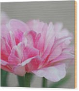 Pretty Pale Pink Parrot Tulip Flower Blossom Wood Print