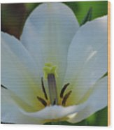 Pretty Perfect White Tulip Flower Blossom In The Spring Wood Print