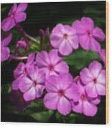 Pretty Pink Phlox  Wood Print