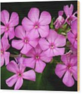 Pretty Pink Prairie Phlox Wood Print