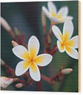 Pretty Plumerias Wood Print