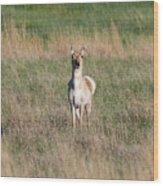 Pretty Pronghorn On The Plains Wood Print