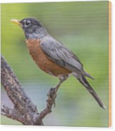 Pretty Robin Wood Print