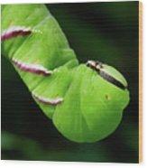 Privet Hawk Moth Caterpillar Wood Print