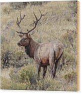 Prize Bull Elk Wood Print