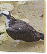 Profile Of An Osprey Bird In The Shallows Wood Print