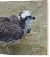 Profile Of An Osprey In Shallow Water Wood Print