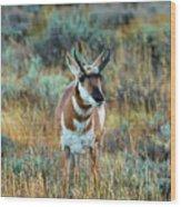 Pronghorn Antelope Amid Fall Foliage Wyoming Wood Print