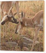 Pronghorn Antelope Bucks Locking Horns Wood Print