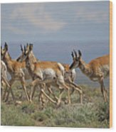 Pronghorn Antelope Running Wood Print