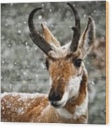 Pronghorn Buck In Snow - Yellowstone National Park Wood Print