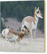 Pronghorn Feeding Wood Print