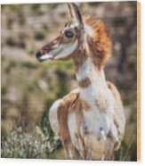 Pronghorn Mother Wood Print