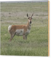 Pronghorn On The Plains Wood Print