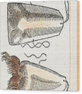Prosthetic Noses, Ambroise Pare, 1561 Wood Print