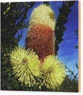 Protea Flower 5 Wood Print