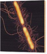 Proteus Vulgaris Bacteria, Sem Wood Print by Thomas Deerinck, Ncmir