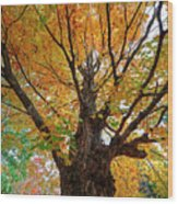 Proud Maine Tree In The Fall Wood Print