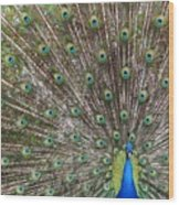 Proud Peacock Wood Print