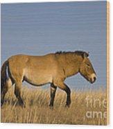 Przewalskis Stallion Wood Print