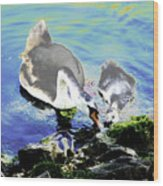 Psychedelic Mute Swan And Cygnet Feeding Wood Print