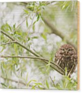 Puffed Up Little Owl In A Willow Tree Wood Print