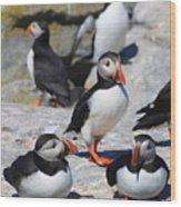 Puffins At Rest Wood Print