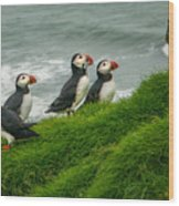 Puffins Returning From Fishing Wood Print