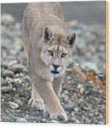 Puma Walk Wood Print