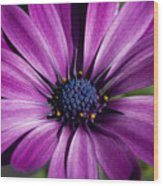 Purple African Daisy Wood Print by Robert  Torkomian