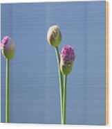 Purple Allium Buds In Early Spring Wood Print