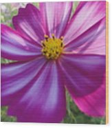 Purple And White Cosmos Wood Print