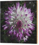 Purple And White Dahlia Wood Print