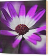 Purple And White Daisy  Wood Print